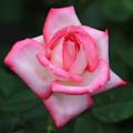 Photos: 旧古河庭園のバラ 190928 03