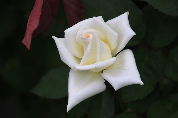 旧古河庭園のバラ 190928 04