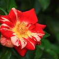 Photos: 旧古河庭園のバラ 190928 05