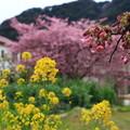 Photos: 河津桜まつり 200214 02