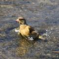 Photos: 我が町の野鳥 200319 02 古代蓮の里
