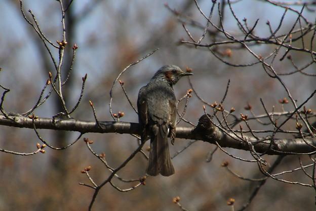Photos: 我が町の野鳥 200319 03 古代蓮の里