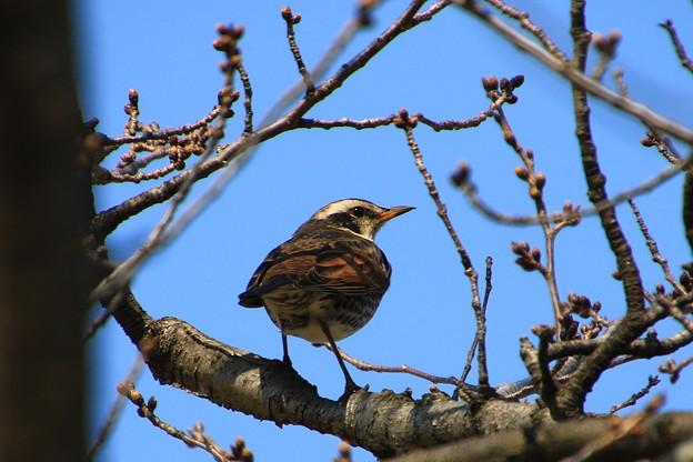 我が町の野鳥 190315 01