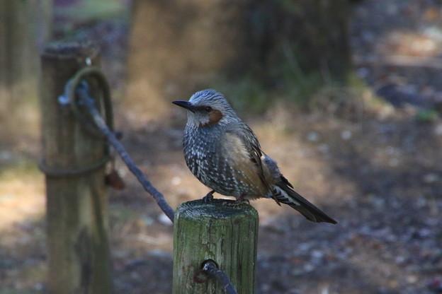我が町の野鳥 190130 03