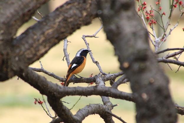 我が町の野鳥 190319 03