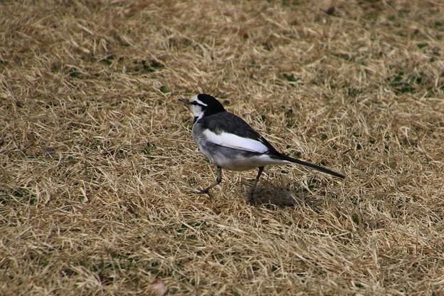 我が町の野鳥 180307 01