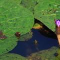 加須オニバス自生地 200806 06