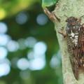 写真: アブラ蝉