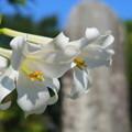 写真: 菩提寺の百合