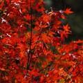 Photos: 小松寺 雨の紅葉
