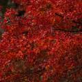 Photos: 雨の紅葉 小松寺