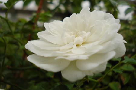 夏の薔薇はね…