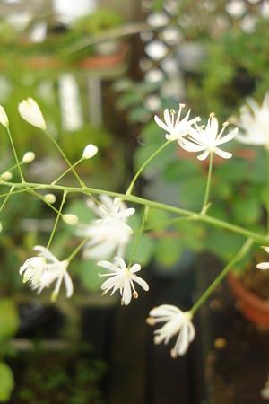 花セキショウ1