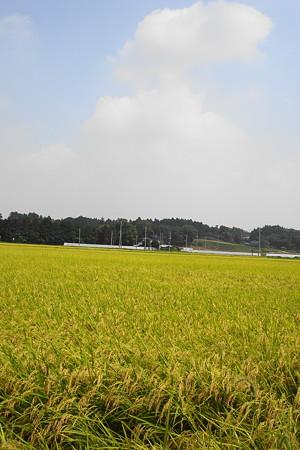 里山では稲刈りが始まっていました…