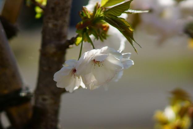八重桜咲く頃