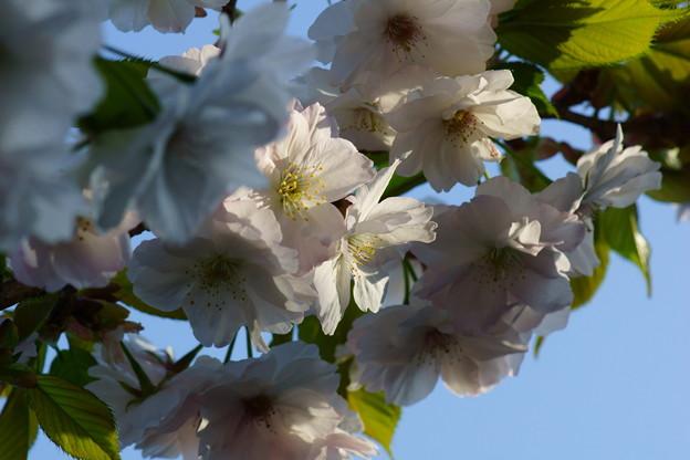 八重桜のころに