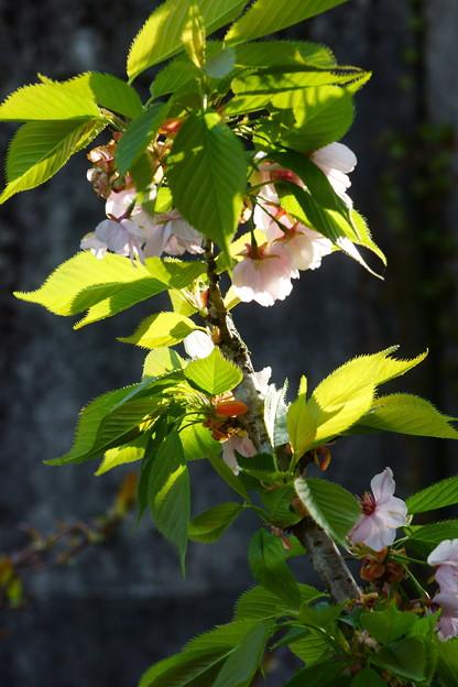 八重桜残照
