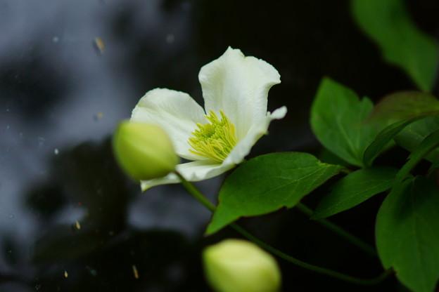 モンタナ一番花