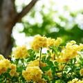 写真: 黄モッコウ薔薇