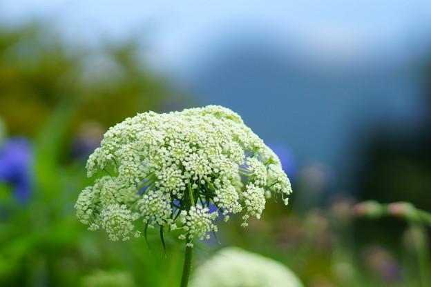 ニンジンの花♪