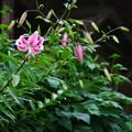 写真: 鹿の子百合咲き始めました(*^^*)
