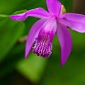 写真: 紫蘭