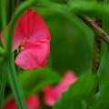 写真: 赤いスイートピー♪