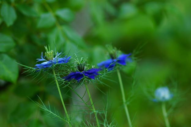 ニゲラ青花