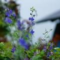 青い千鳥草