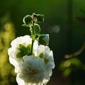 写真: 八重咲の葵