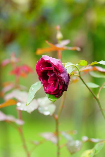 秋色の薔薇