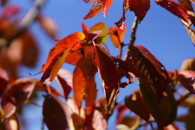 八重桜紅葉