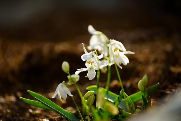 シラーシべリカ白花