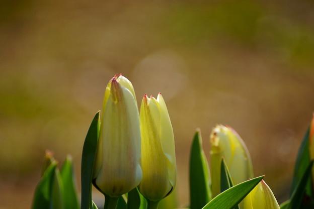 Photos: Tulip