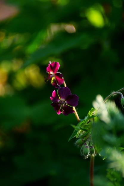 黒花フウロ