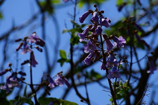 桐の花の咲く頃