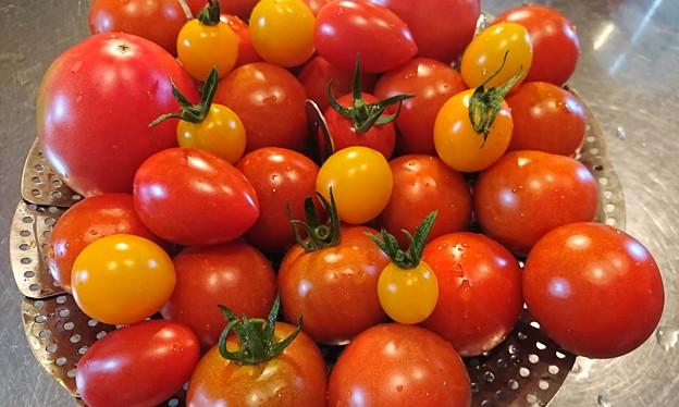 菜園トマト