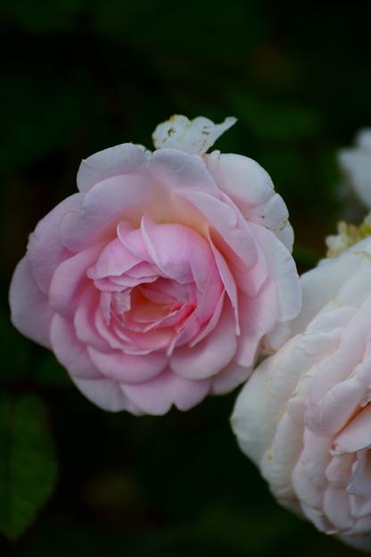 夏の薔薇たち