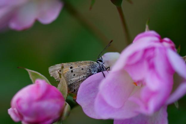 Photos: 薔薇と蝶