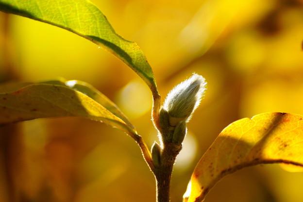 冬芽と黄葉