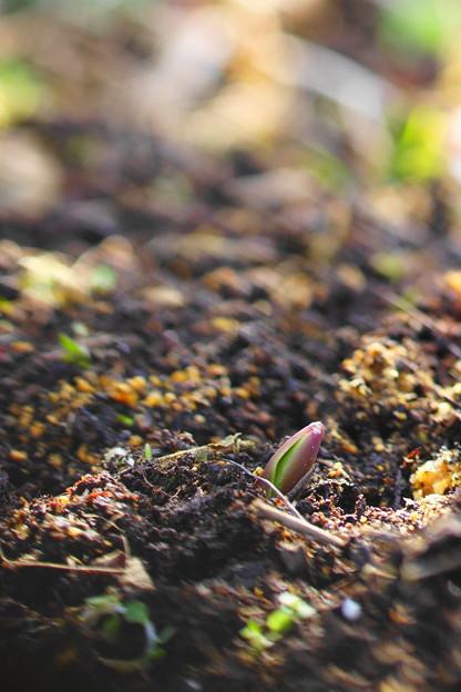 Tulip芽だし♪