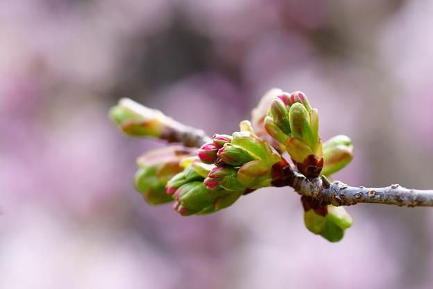 八重の桜スタンバイ