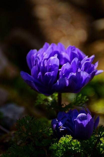 アネモネ凜々花