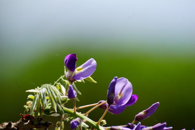 藤の花の咲く頃