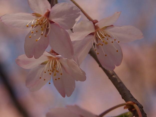 Photos: 川越中院 枝垂れ桜3