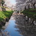 川越 新河岸川の桜
