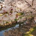川越 新河岸川の桜3