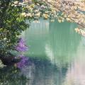 Photos: 鎌北湖のツツジ