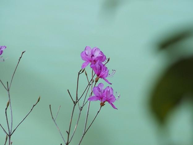 Photos: 湖畔に咲くつつじ