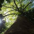 Photos: 自然な樹形のスズカケノキ